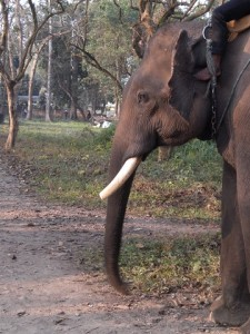 Toe-jabs keep the pachyderms moving