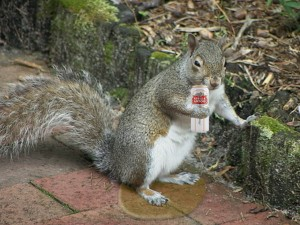 A squirrel drinking an itty-bitty beer! He can't do that!
